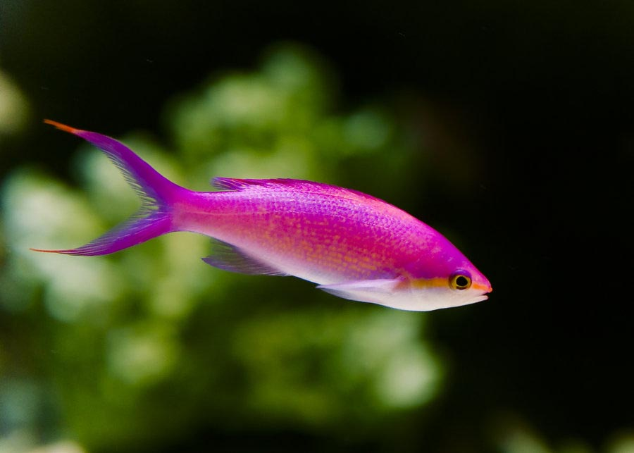Small pink aquarium fish aquarium design ideas for Good fish for small tanks