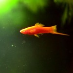 Small Red Fish Aquarium