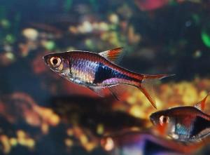 Small Schooling Fish Freshwater Aquarium