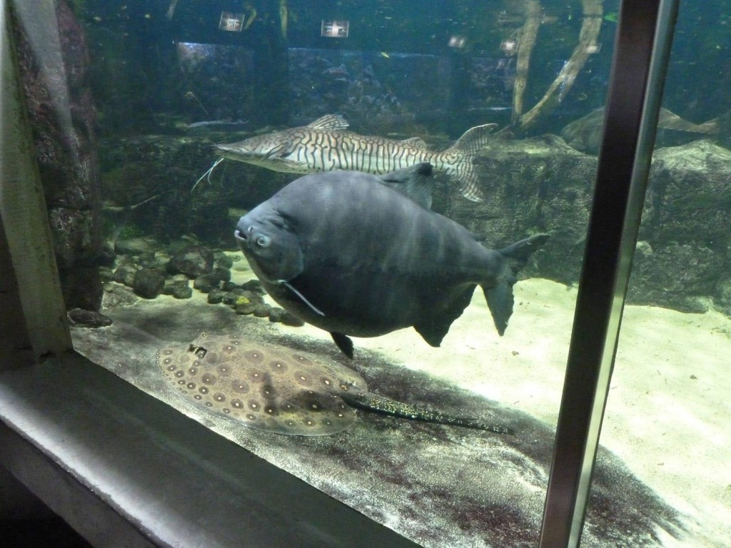 South American Aquarium Fish