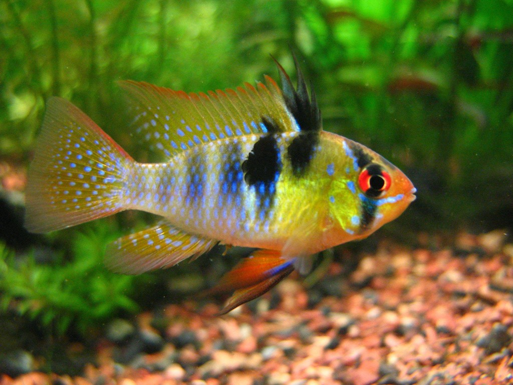 Tropical Aquarium Community Fish