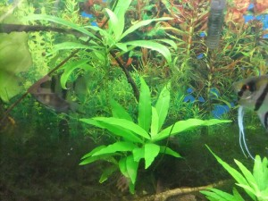Tropical Fish Aquarium Plants