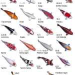 Types of Koi Fish